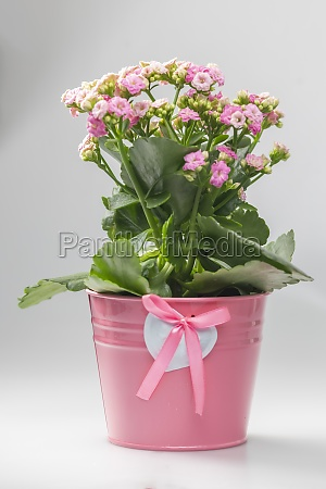 rosa, kalanchoe, in, rosa, blumentopf - 29742269