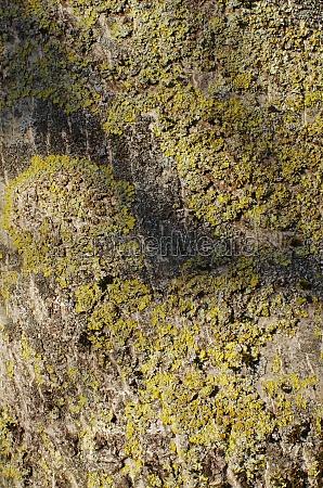 rinde eines walnussbaumes bielefeld ostwestfalen nordrhein