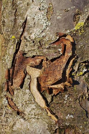 rinde eines apfelbaumes bielefeld ostwestfalen nordrhein