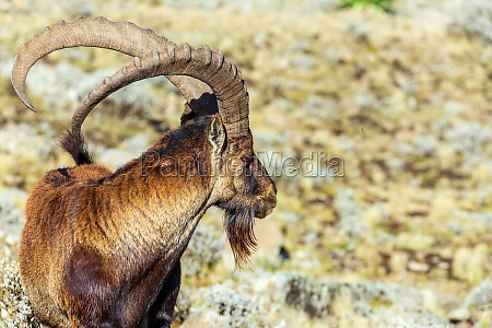 seltener walia steinbock in simien mountains