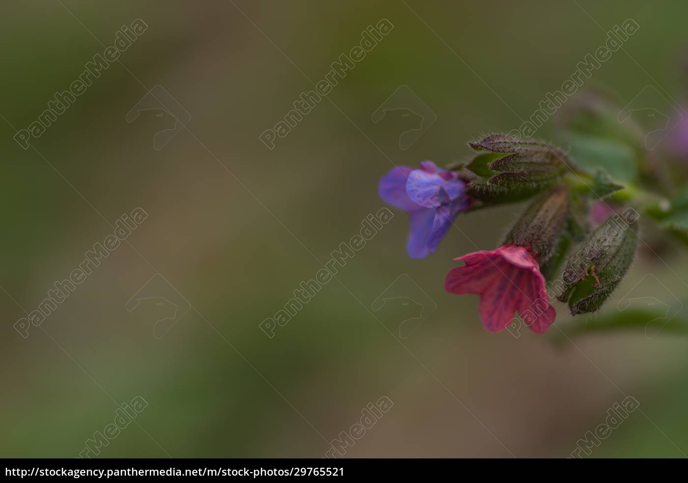 colorful, lungwort, herb, detail, view, right - 29765521