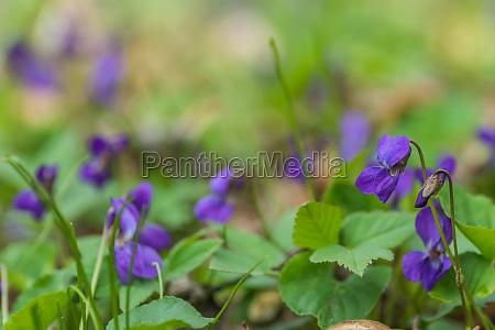 frische duftende violoet in weichen gruenen