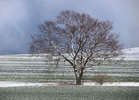 kahle eiche nach schneeschauer im april