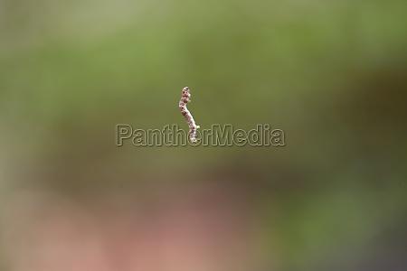 rosa, inchworm, hängen - 29769987