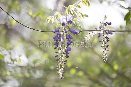 purple, wisteria, blooms - 29770470