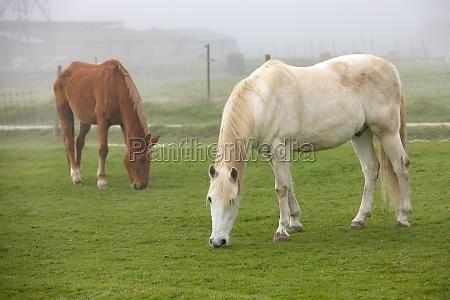 pferde grasen an einem nebligen tag