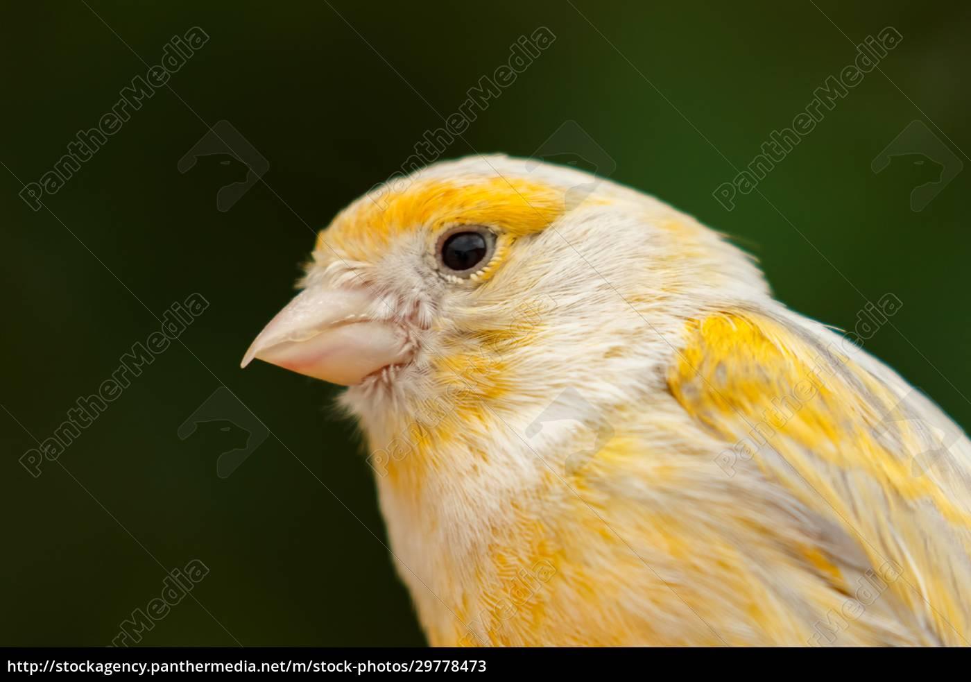 beautiful, yellow, canary - 29778473