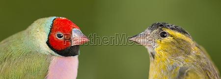 schöner, vogel, mit, rotem, gesicht, der, andere - 29778474