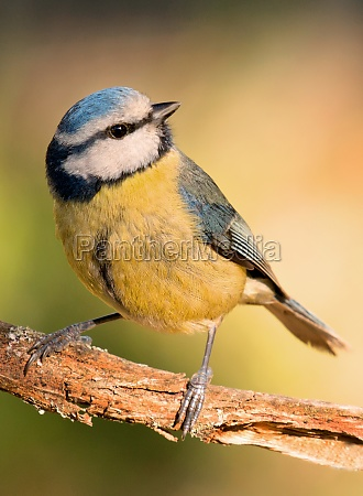 blue, tit, perched, on, a, branch - 29782847