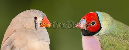schöner, vogel, mit, rotem, gesicht, der, andere - 29782845