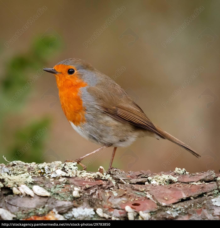 hübscher, vogel, mit, einem, schönen, orangeroten - 29783850