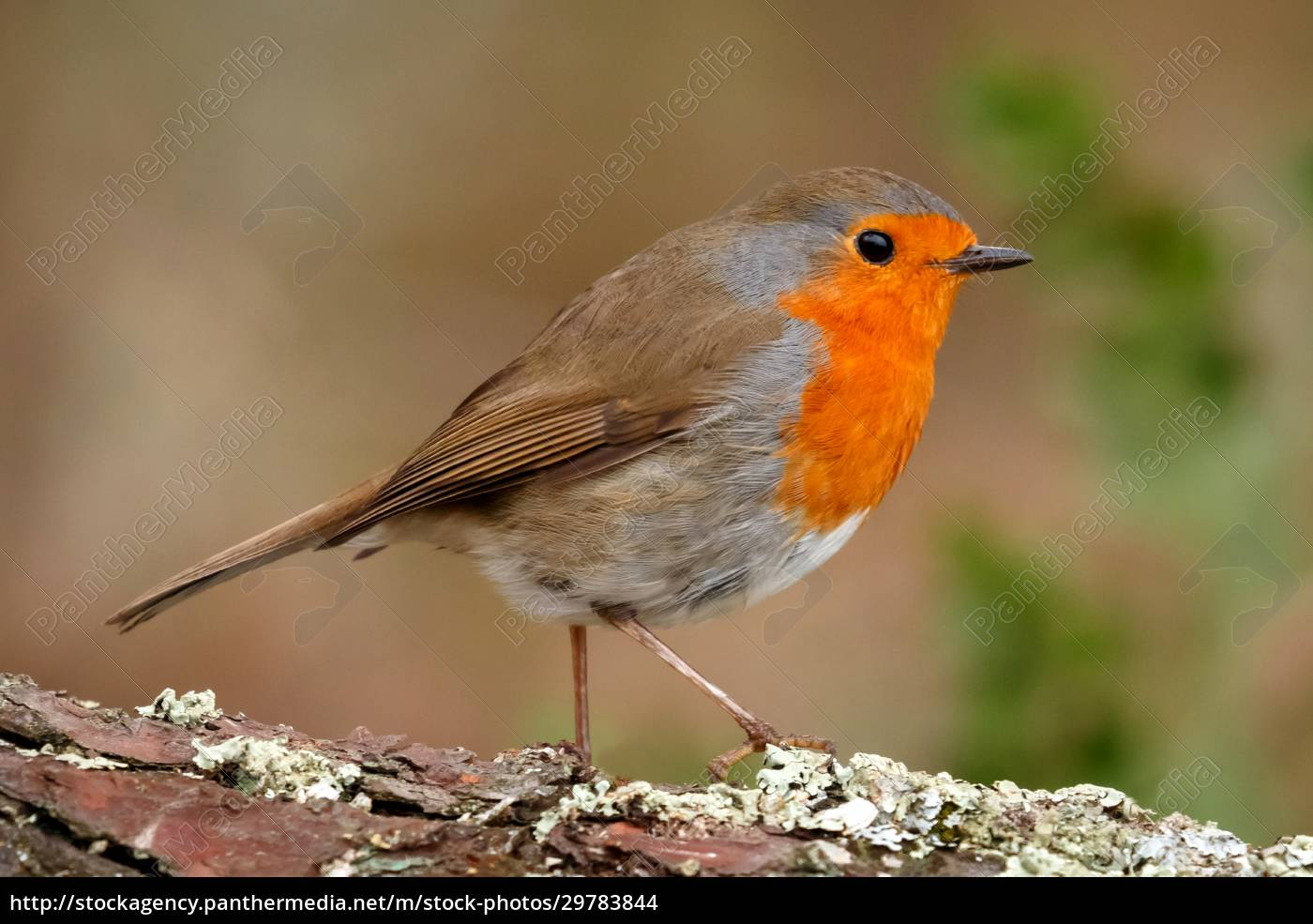 pretty, bird, with, a, nice, red - 29783844