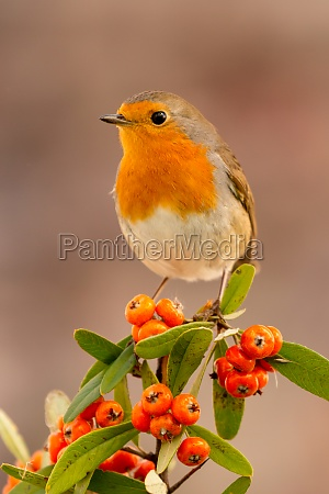 pretty, bird, with, a, nice, red - 29783966
