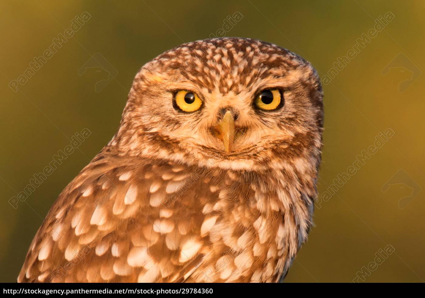 süße, eule, kleiner, vogel, mit, großen, augen - 29784360