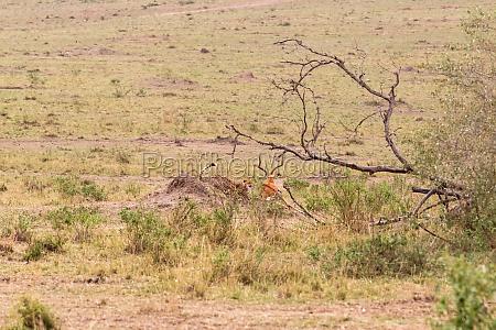 fotoserie:, gepardenjagd, für, den, großen, impala. - 29786392
