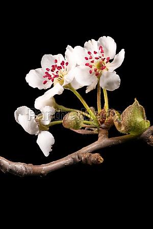 detailaufnahme eines zweiges des apfelbaumes mit
