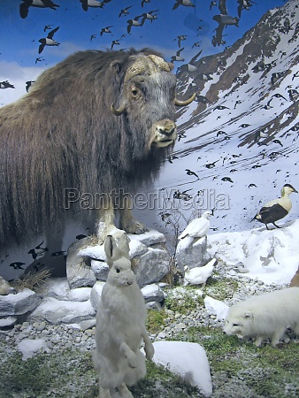 animals, musk, ox, white, hare, and - 29792893