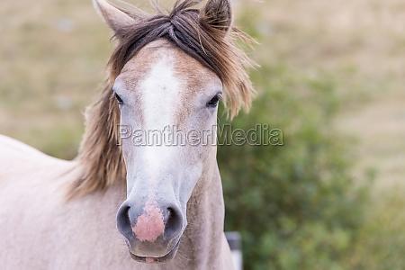 portraet von schoenen wilden pferd