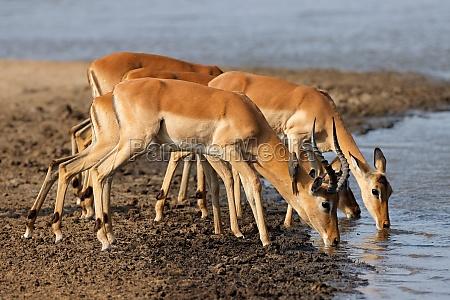 impala antilopen trinkwasser krueger nationalpark
