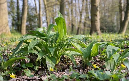 bärlauchpflanzen - 29829543