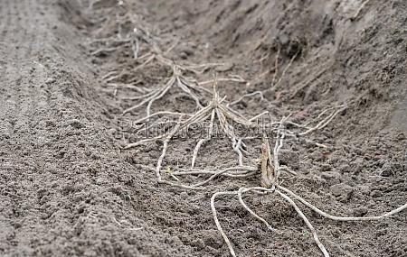 junge, spargelpflanzen, - 29829538