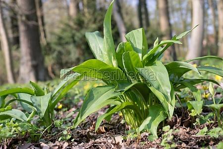 wild, garlic, plants - 29829544
