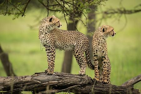 gepardenjunge stehen auf holz und sehen