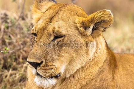 portraet einer schlafenden koenigin der savanne