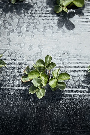 erdbeerpflanzen, auf, dem, feld - 29877640