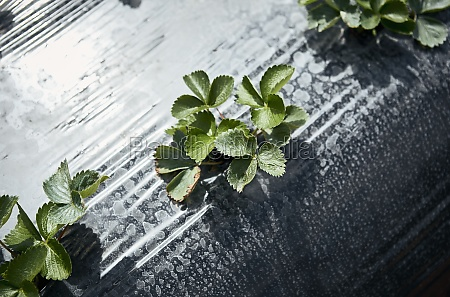 erdbeerpflanzen, auf, dem, feld - 29877641