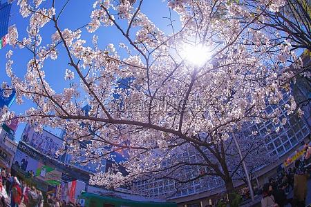shibuya station des kirschbaums und des