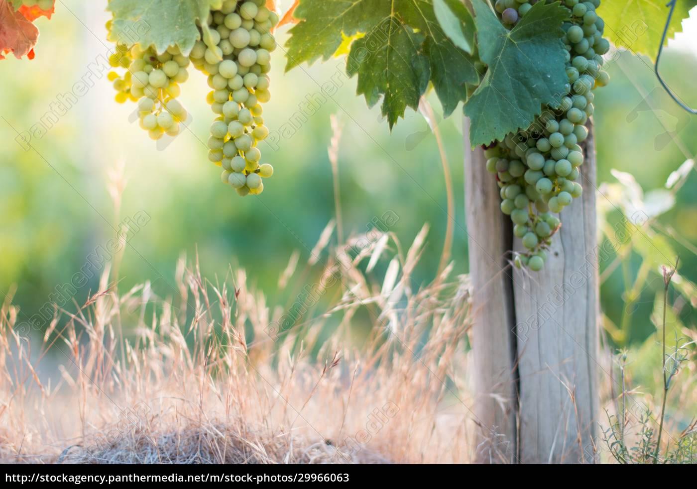 ripe, vine, grapes, on, a, farm, - 29966063