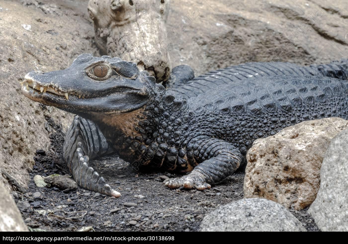 krokodilzähne, und, detail, des, auges, halb, versteckt - 30138698