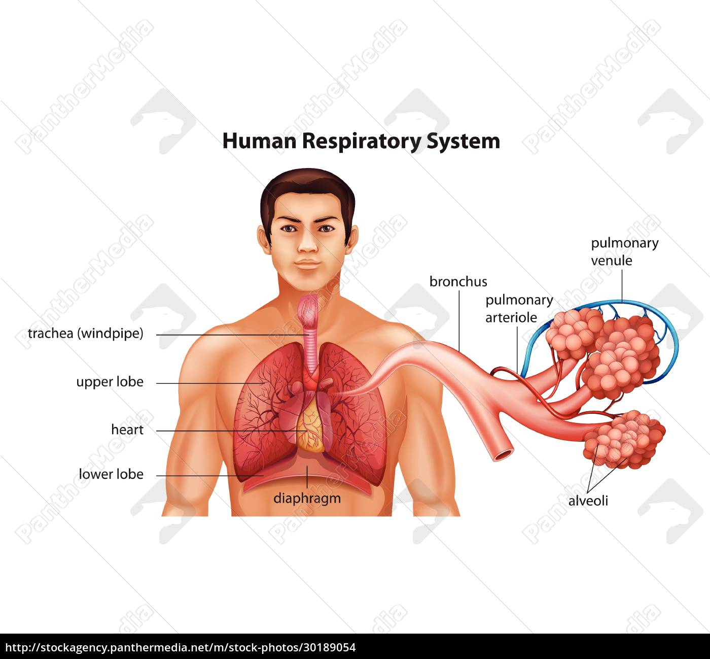 respiratory, system, of, humans - 30189054