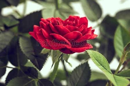 einzelne rote farbe rosa