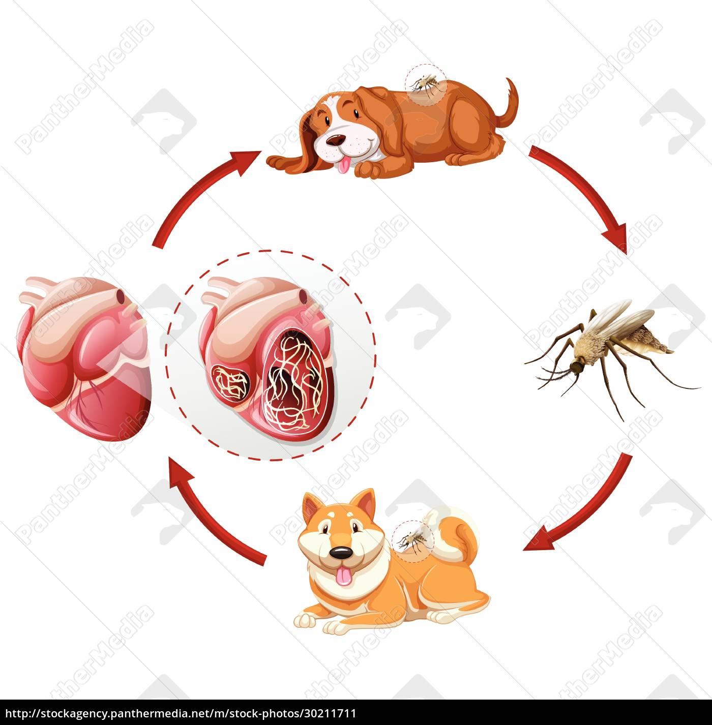 heartworm, life, cycle, chart - 30211711