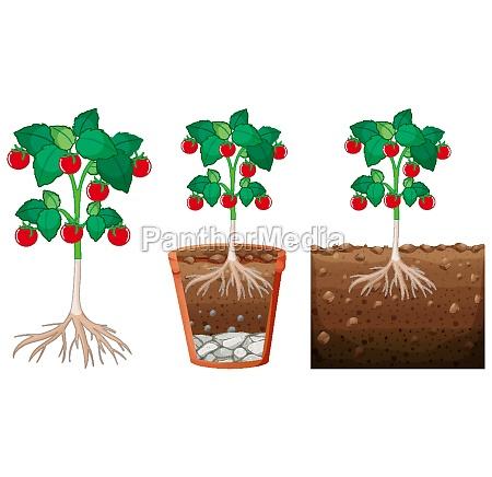 set, of, tomato, plants - 30234535
