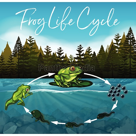 frog, life, cycle, concept - 30245287