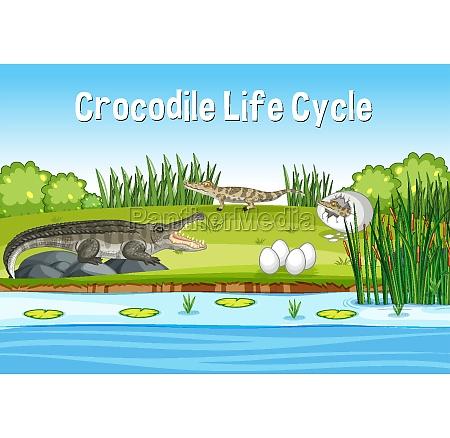 scene, with, crocodie, life, cycle - 30253010