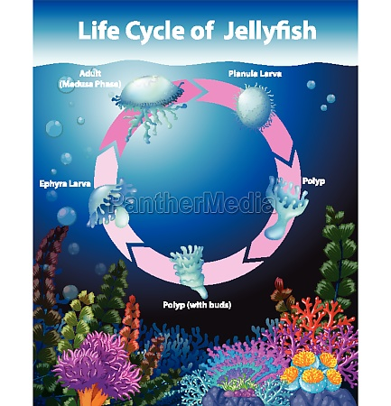 diagram, showing, life, cycle, of, jellyfish - 30255829