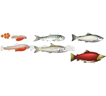 life, cycle, of, salmons - 30255446