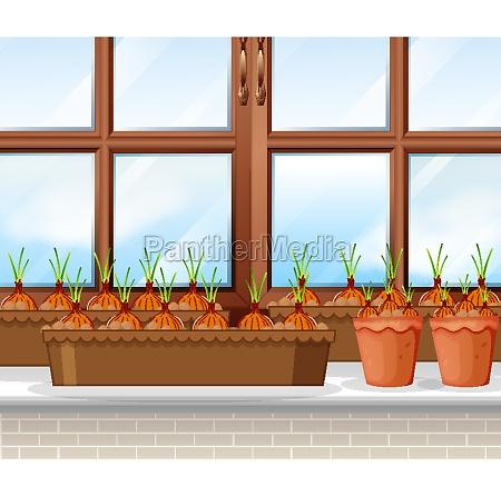 onions, plants, with, window, background, scene - 30260313