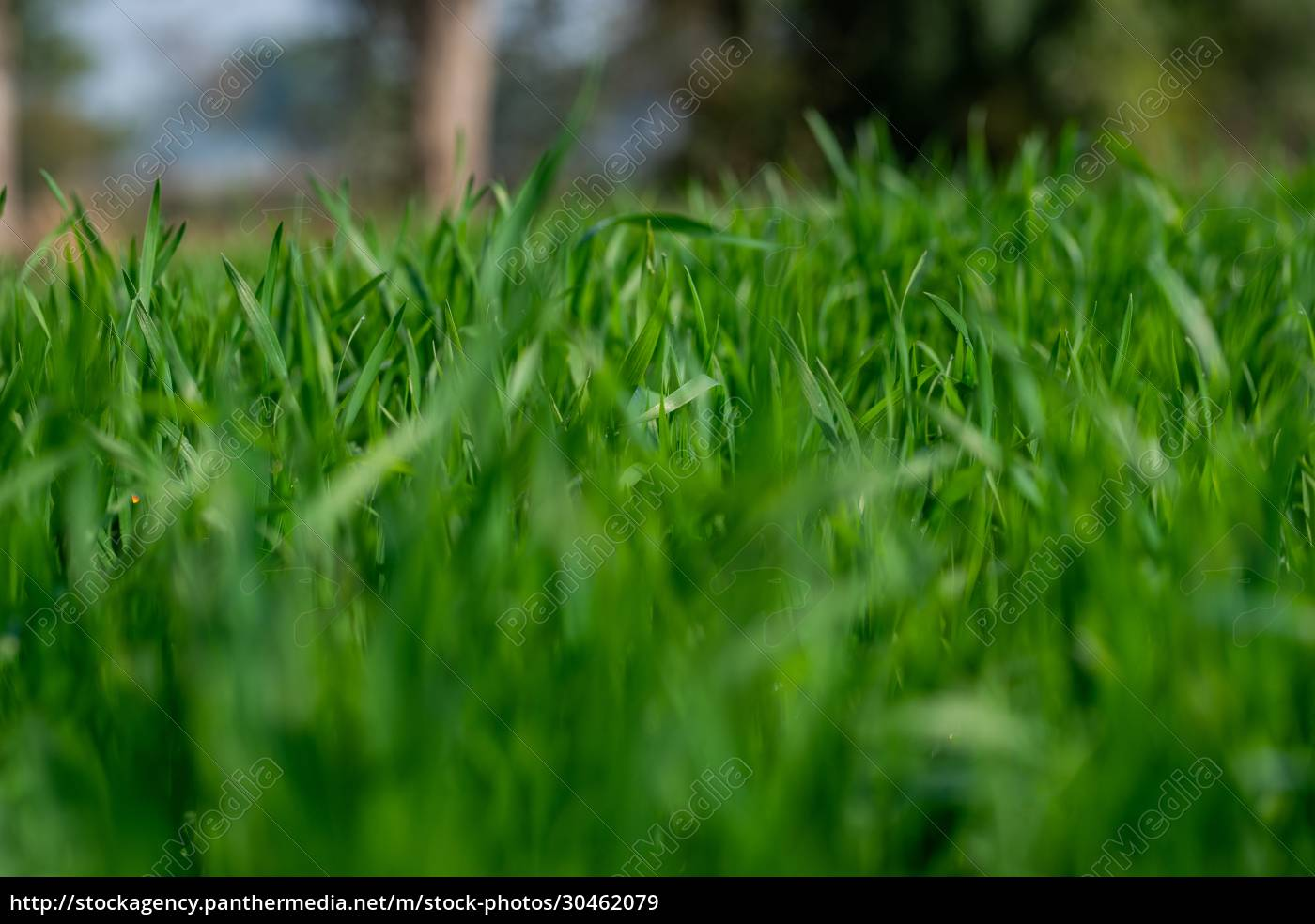 young, wheat, plants, growing, on, the - 30462079