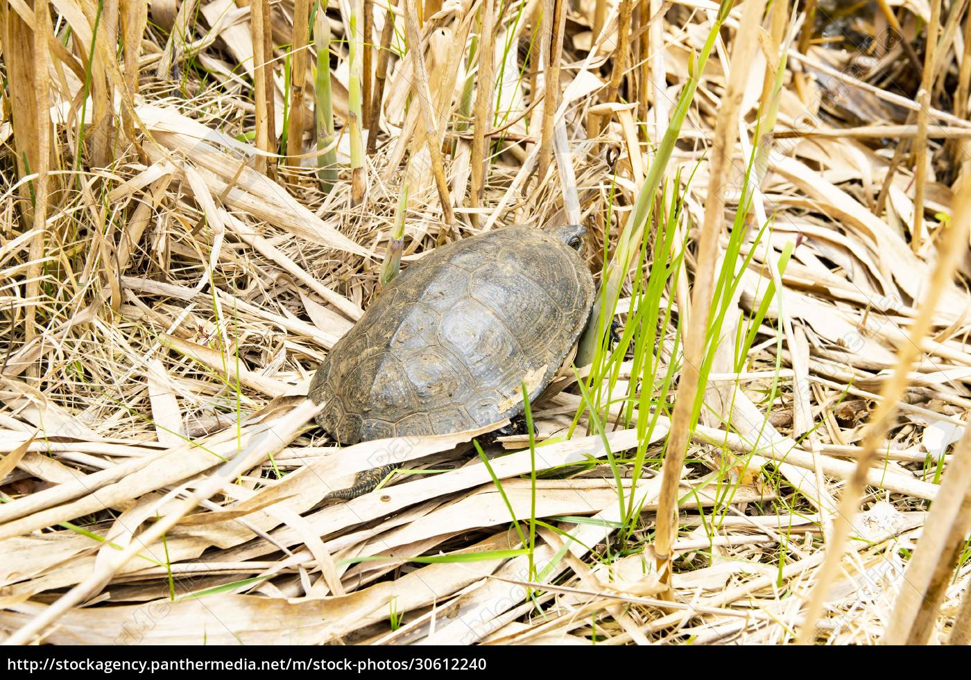 freshwater, turtle, in, reeds, -, animals - 30612240