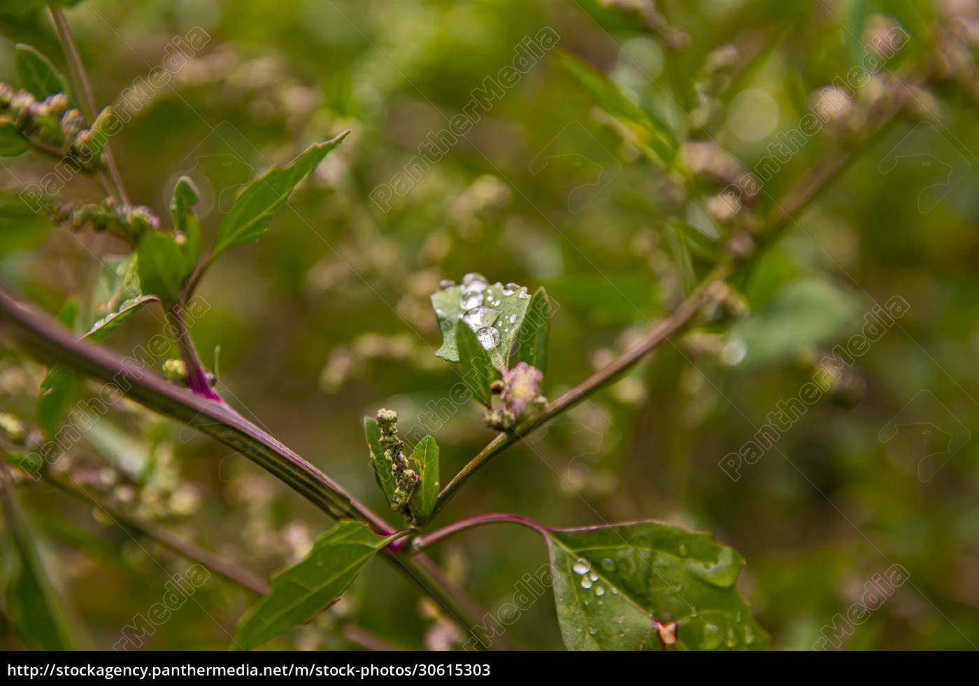 dewdrops, on, the, leaves, of, green - 30615303