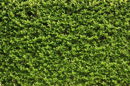 grün, hintergrund, Makro, sommer, gras, wiese - B17978383